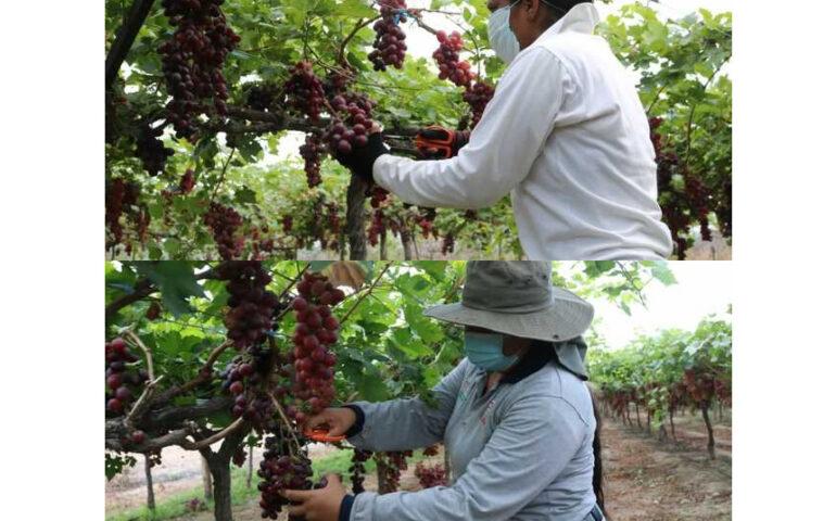 Cultivos de uva (Foto: Ministerio de Desarrollo Agrario).