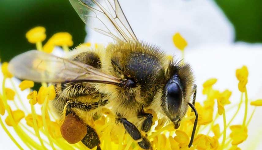 Las abejas, son insectos de los que dependemos para la supervivencia del planeta. (Foto: FAO/Greg Beals).